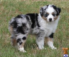 pictures of australian shepherds | Miniature Australian Shepherd Puppies in Texas