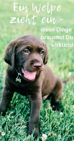 Hottest Snap Shots Labrador Retriever pitbull Tips Would you only desired a new Labrador Retriever within the house? Are you considering it? Pomsky Puppies, Husky Puppy, Cute Puppies, Funny Animal Videos, Funny Animals, Baby Huskys, Akc Breeds, Labrador Retrievers, Retriever Puppies