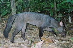 One of the Amazon's most elusive and least-known mammals, the Short-Eared Dog (Atelocynus microtis), captured on camera trap by the Tiputini Biodiversity Station (TBS). Photo courtesy of TBS. Interesting Animals, Unusual Animals, Rare Animals, Strange Animals, Coyotes, African Wild Dog, Most Beautiful Animals, Wild Dogs, Weird Creatures