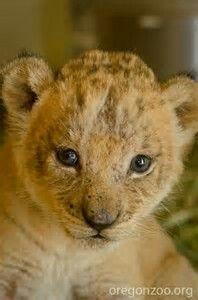 Lion Cub@The Oregon Zoo