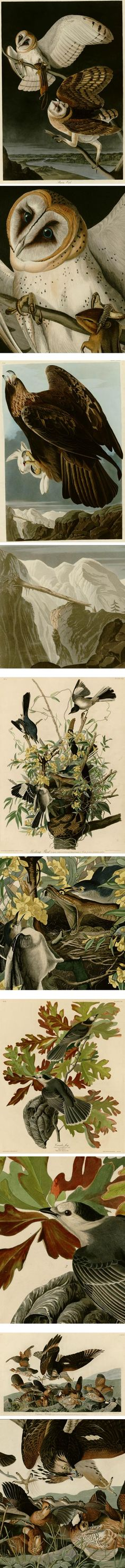 John James Audubon, Birds of America Audubon Prints, Audubon Birds, Owl Illustration, Birds Of America, Nature Artists, John James Audubon, Vintage Birds, Raptors, Bird Prints