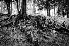 If you follow the St. Louis River trail South below the Thomson Reservoir there is an area that looks and feels like you are in the Pacific Northwest, several of the trees appear to be growing out of and crawling over the rocks along the banks.  Equinox Project Photography  www.equinoxpix.com   #cedar #blackandwhite #onlyinmn #getoutside #minnesotastateparks #jaycookestatepark #neverstopexploring