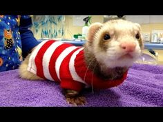 Funny and cute ferret videos compilation - YouTube