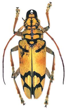 Weird Insects, Bugs And Insects, Beetle Insect, Beetle Bug, Insect Orders, Longhorn Beetle, Cool Bugs, Beautiful Bugs, Beautiful Creatures