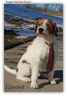 Northville Mi Wirehaired Fox Terrier Beagle Mix Meet Elwood A
