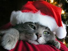 Love the purple Santa cat I Love Cats, Crazy Cats, Cute Cats, Christmas Animals, Christmas Cats, Merry Christmas, Christmas Tables, Coastal Christmas, Funny Christmas