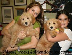 Goldendoodles English Goldendoodle Puppy - Goldendoodle Puppies For Sale Florida - Moss Creek Goldendoodles