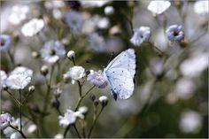 Poster Schmetterling Himmelblauer Blaeuling (Lysandra bellargus ROTT