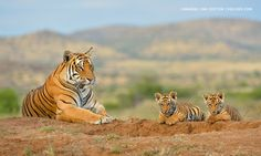 Photo Tiger Family by Marsel van Oosten on 500px