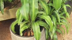 The temps are hot outside so a lot of people are spending time indoors. Garden expert Mark Gibbs from The Great Outdoors highlights some plants you can use to help purify the air. http://www.fox7austin.com/good-day/12690169-story