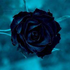 Dark blue rose, looks almost black Black Rose Flower, Dark Blue Flowers, Black Roses, Ronsard Rose, Rare Roses, Rose Art, Love Blue, Flower Wallpaper, Beautiful Roses