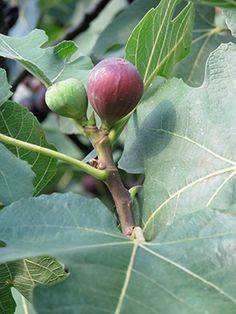 When it comes to growing homegrown fruit, nothing could be easier than figs - Clemson University write up. Man -- I want fig trees when I move to my next house.