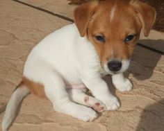 Alfie the Jack Russell Terrier Pictures 8518                                                                                                                                                     More
