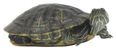 How to Tell If Slider Turtles Are Male or Female