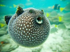 nobody move until the puffer fish sings :)