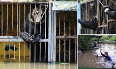 """Heartbreaking pictures show battle to rescue stranded bears from flooded Russian zoo - but several animals die after deluge hits (via Daily Mail) (1 September 2015) """"Volunteers are frantically battling to save animals at a Russian zoo after a river burst its bank and swamped the enclosures. Several animals are already believed to have died at Zelyony Ostrov Park Zoo in Ussuriysk, Russia, following the incident."""""""