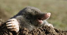 Maulwürfe sind possierliche Tierchen und dazu noch sehr nützlich, weil sie Engerlinge und andere Schädlinge vertilgen. Leider nehmen sie bei der
