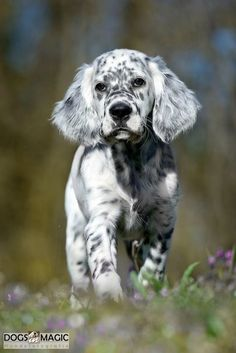 dalmatian x cocker spaniel Cute Dogs And Puppies, I Love Dogs, Pet Dogs, Doggies, Beautiful Dogs, Animals Beautiful, Cute Baby Animals, Animals And Pets, English Setter Puppies