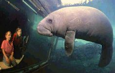 Manatee at the Fishbowl. Homosassa Springs Wildlife State Park. Citrus County is where you can get up close and personal with hundreds of Manatees.