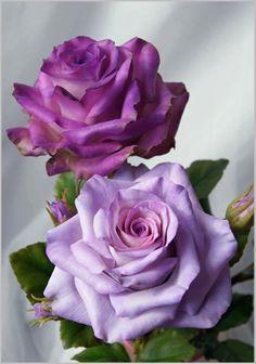 "preciosas ""rosas violeta"""