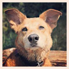 Maggie May #puppy #dog #munchies #tagforlikes #yumyum