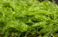 Could seaweed have value as a commercial foodstuff of the future?
