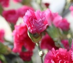 Carnations, love em