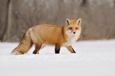 Renard Roux  Red Fox