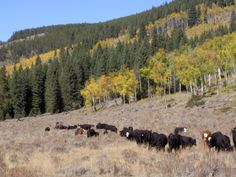 The Hideout Lodge & Guest Ranch needs help tending to their over 1200 head of Black Angus, their calves, and the hundreds of yearlings.