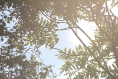 Suntree. The sun shines through those leaves and makes the summer senses come to life.