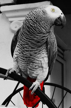 Colourful African Grey Parrot (Black and White) by Dafydd Em Parrot Wallpaper, Animal Wallpaper, Pretty Birds, Beautiful Birds, Parrot Drawing, Bird Types, Animals Black And White, Eyes Artwork, African Grey Parrot