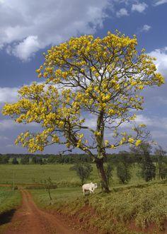 Ipê-amarelo-cascudo (Tabebuia chrysotricha) em Avaré, estado de São Paulo, Brasil. Árvore típica do cerrado.  Fotografia: José Reynaldo da Fonseca.