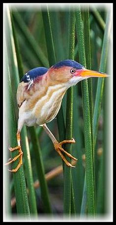 Pole Position ♦ A male Least Bittern grips a pair of California Bulrushes at the edge of Horsepen Bayou #Least Bittern bird wildlife California Bulrush reed Horsepen Bayou Pasadena Texas  #by gseloff #bird bird animal animals nature cute