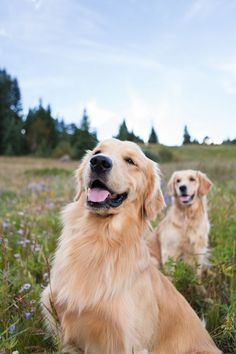 Twee golden retrievers in het veld. Beste Golden Retriever Foto's. #Goldenretriever #Golden #Retriever.