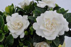 Gardenia, highly fragrant and silky blooms Hydrangea Garden, Garden Shrubs, Garden Landscaping, Flowers Garden, Hydrangeas, Landscaping Ideas, Garden Plants, White Flowering Plants, White Plants