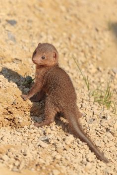Two Dwarf Mongoose Pups, each the size of a chocolate bar, have been spotted enjoying the September sunshine in Chester Zoo. Reptiles, Mammals, Cute Baby Animals, Funny Animals, Animals Are Beautiful People, Chester Zoo, Interesting Animals, Tier Fotos, Frogs