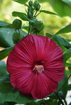 LUNA RED HARDY HIBISCUS Moscheutos - 10 SEEDS HUGE bright burgundy red flowers