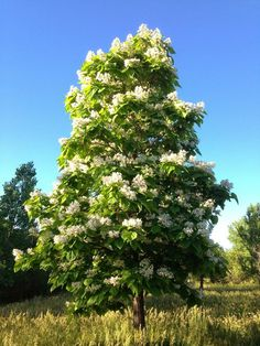Catalpa Tree I Took This Picture Of A With My Phone During Recent Walk Dogs Near House In Longmont Colorado