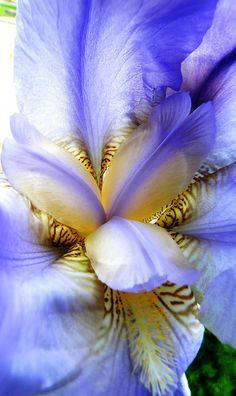 Iris by Meagan Montgomery. Although, an iris is pretty to look at, they smell like crap! Iris Flowers, All Flowers, Exotic Flowers, Pretty Flowers, Colorful Flowers, Planting Flowers, Wonderful Flowers, Macro Photography, Beautiful Gardens