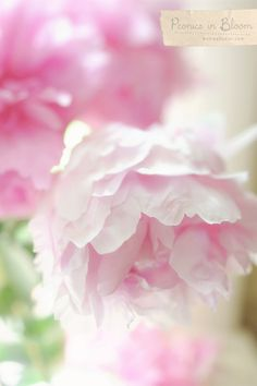 Pink Peonies in Bloom  http://www.andreadozier.com/blog/2012/06/04/peonies-in-bloom/#