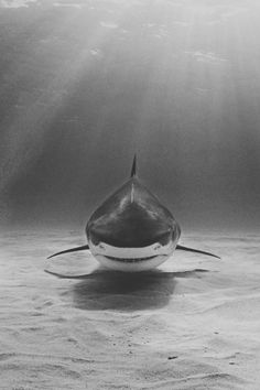 great white shark waiting