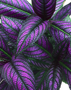 Proven Winners - Proven Accents® - Persian Shield - Strobilanthes dyerianus none plant details, information and resources. Weird Plants, Types Of Plants, Persian Shield Plant, Garden Plants, House Plants, Gothic Garden, Proven Winners, Free Plants, Colorful Plants