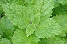 Kräuter-Steckbrief Zitronenmelisse (Melissa officinalis) - Eigenschaften und Verwendung