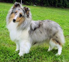 Leia is a blue merle with