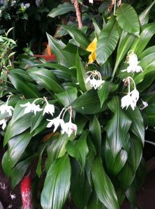 Amazon Lily (Eucharis amazonica) is a fragrant lily.