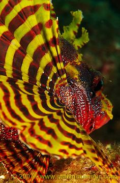 Shortfin lionfish Deborah G. via Deborah G. onto Underwater World