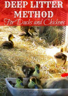 The Deep Litter Method is a way to keep your duck and chicken coop run clean and healthy for your flock. Control the flies and keep your eggs clean. Plus it is much less work! It makes great compost for your garden! This is a must for your backyard or homestead flock.