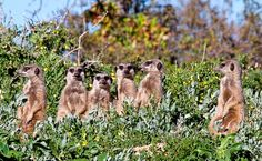 Meerkat Safaris in Oudtshoorn – Game Lodge Accommodation Oudtshoorn Klein Karoo Western Cape – New Orleans Finance Game Lodge, Ostriches, Nature Reserve, Natural Wonders, Mammals, New Orleans, Daily Activities, Westerns, Places To Go