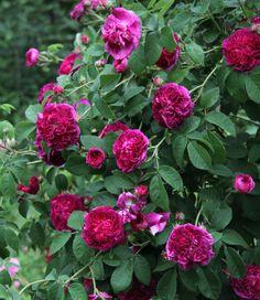 'Charles de Mills' a Gallica Rose   Welt der Pflanzen