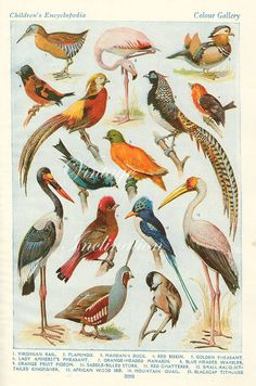 Vintage Antique Birds 2 X Prints The World's Most BEAUTIFUL BIRDS Natural History Antique Illustration 4 plates 47 birds pheasant